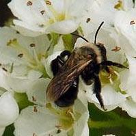 Abeille pollinisatrice